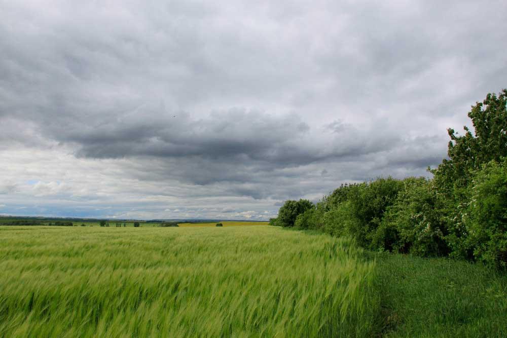 Gerstefelder am Ortseingang von Ringleben bei Gebesee